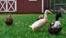 H5N8 avian flu