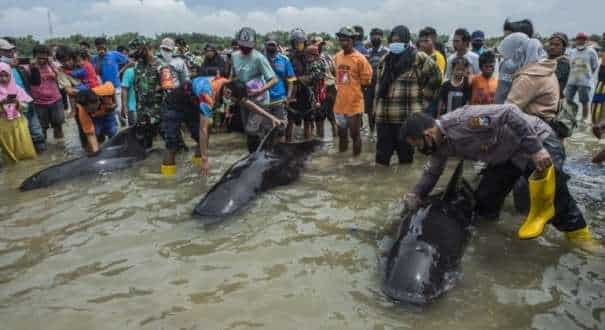 People try to save short-finned pilot whales beached in Bangkalan, Madura island on Friday.
