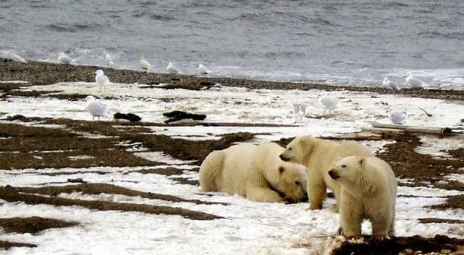 Increase in polar bear cannibalism cases linked to shrinking Arctic ice