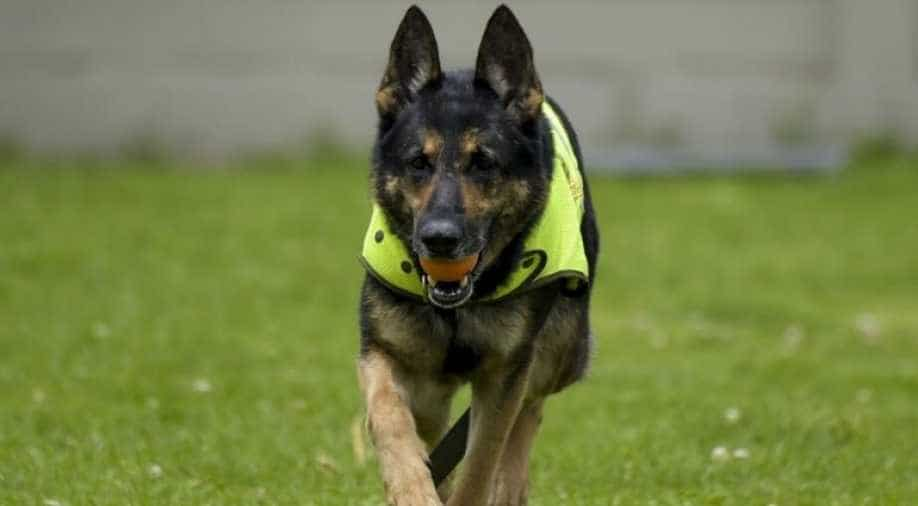 Coronavirus / Dogs being trained to sniff out coronavirus patients