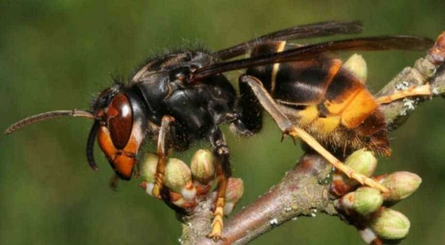 United States bracing for invasion of monster hornets