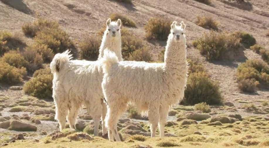 Llamas Could Cure COVID-19