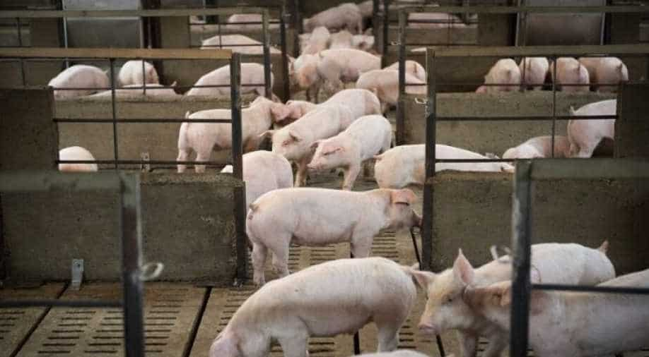 Researchers find new swine flu-like virus in pigs