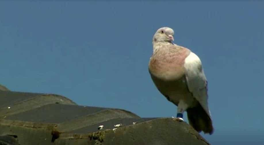 Pigeon That Travelled 8,000 Miles From US To Australia Will Be Killed