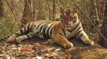 Representative image of a tiger (Image source: Project Tiger).