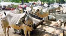 SC stays govt's cow slaughter ban