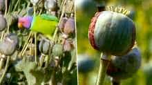 Opium-addicted parrots raid farms in India