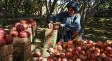 A farmer sorts and packs pomegranates at a garden in Kandahar province.