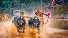 Kambala in action
