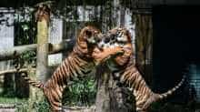 Two Malayan tigers fight at the National Zoo in Kuala Lumpur on November 21, 2017.