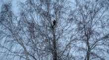 Alexei Dudoladov, student and popular blogger, is seen on a birch tree for better cellular network coverage in his remote Siberian village of Stankevichi, Russia November 13, 2020. Picture taken November 13, 2020