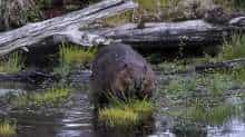 A beaver enters the water in the forest near Puerto Williams, Chile on February 05, 2020