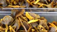 This picture taken on November 9 , 2020 shows Craterellus tubaeformis (Tube chanterelle) mushrooms in a local market in Samatan, southwestern France.