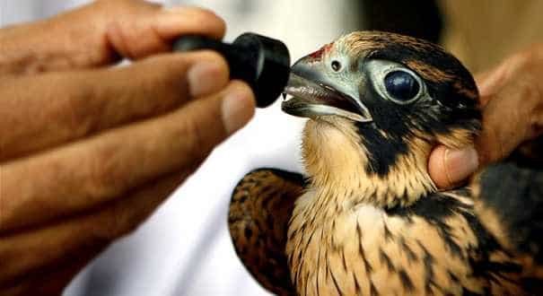 World's largest falcon hospital cares for Emirati heritage