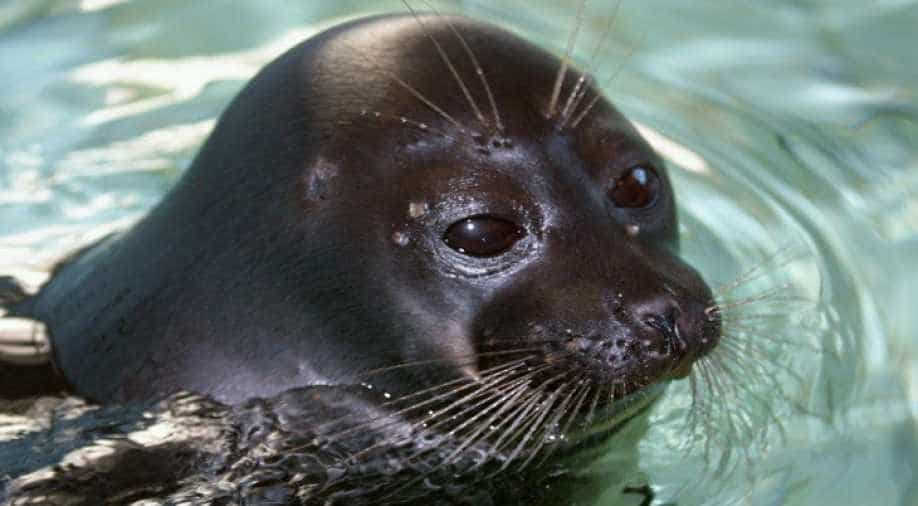 Outrage As Six Baby Seals Decapitated In New Zealand World News Wionews Com