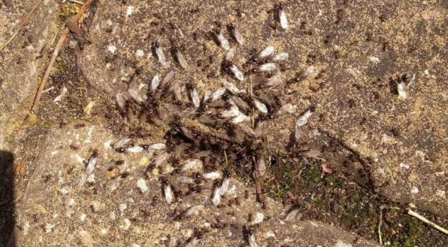 Giant Swarm Of Flying Ants Spotted From Space Over Britain World News Wionews Com